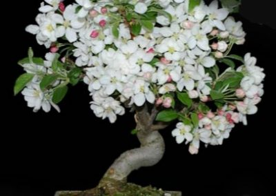 Blühende Bonsai- Grundlagenkurs –24. Februar 2019