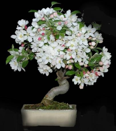 Blühende Bonsai- Grundlagenkurs –16. Februar 2019