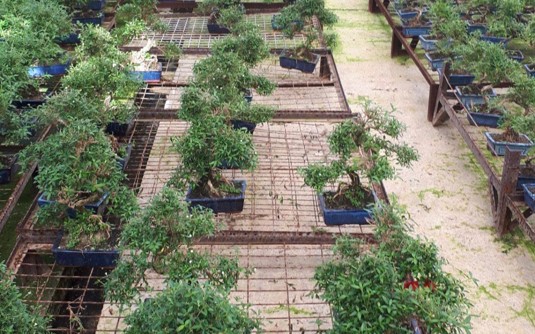 Bonsai-Grundlagen I –26. Oktober 2019