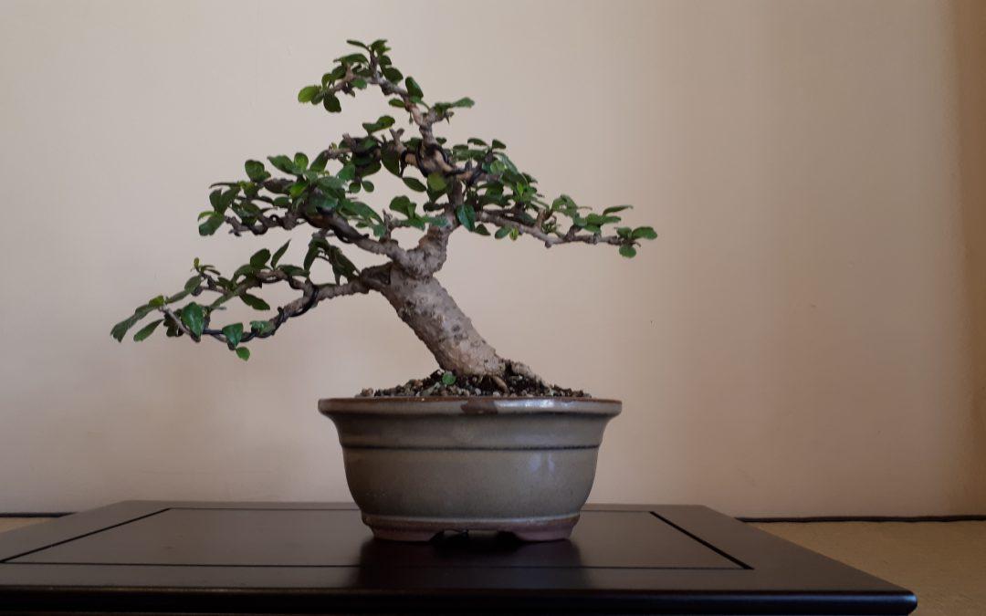 Bonsai-Grundlagen I22. Februar 2020 (noch 5 Plätze)