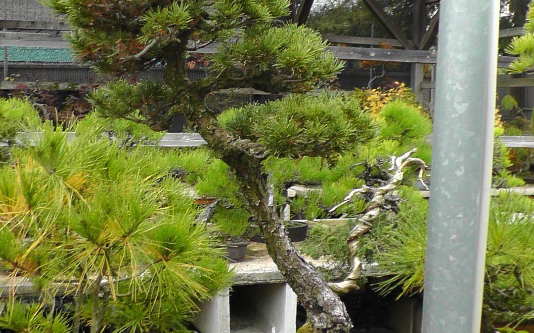 Bonsai-Fortgeschrittene I- Stilformen 08. März 2020