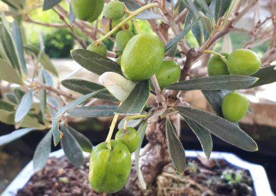 Oliven- Bonsai ABGESAGT